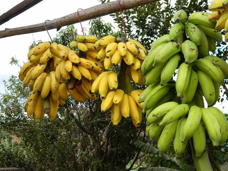 bunch-of-bananas