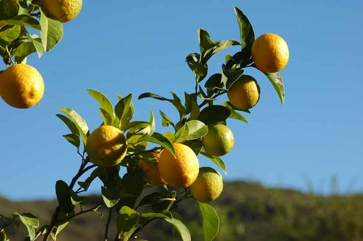 5. High in Vitamin C - Lemon Water